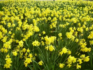 Even more daffodils
