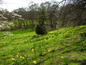 A slope of hill at Kenwood House covered in daffodils