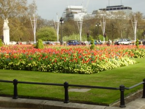 Tulips near Buckingham Palace